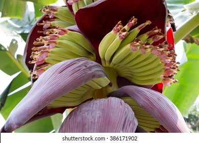the fresh banana blossom on banana tree