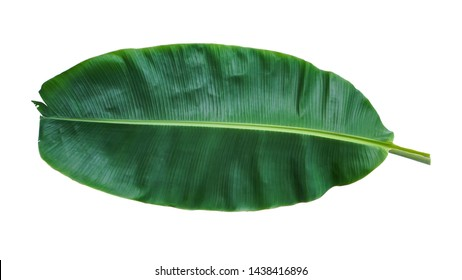 Fresh Banana Leaf Isolated with clipping path.
