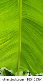 Fresh banana tree leaf closeup - Shutterstock ID 1854353641