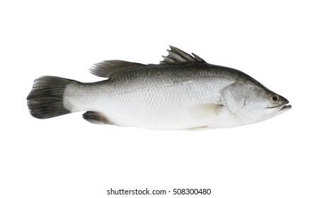 Fresh barramundi fish isolated on white background