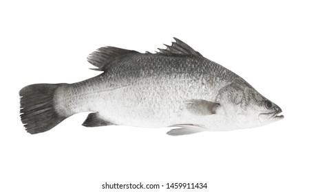 Fresh barramundi or seabass fish isolated on white background