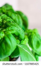fresh basil with drops of water