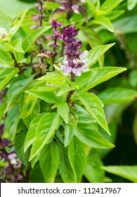 Fresh basil flower plant in the garden
