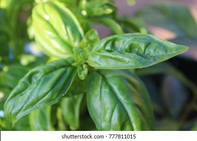 Fresh Basil Growing in the Garden