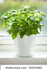fresh basil herb in pot on window