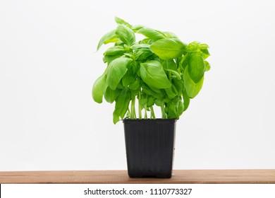 fresh basil isolated in white background