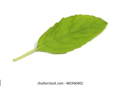 Fresh basil leafs isolated on white background