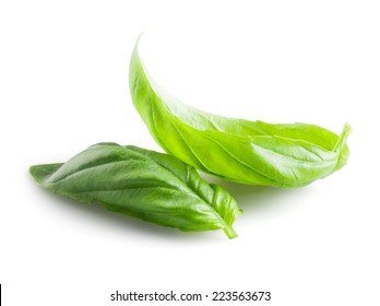 Fresh basil leaves in closeup