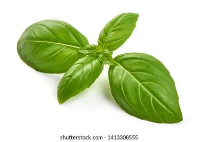 Fresh basil leaves, close-up, isolated on white background.
