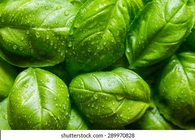 Fresh basil leaves with drops of dew