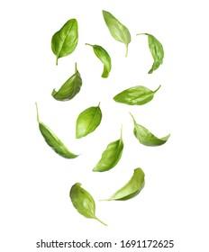 Fresh basil leaves falling on white background