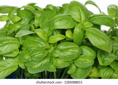 Fresh basil leaves in garden, macro shot