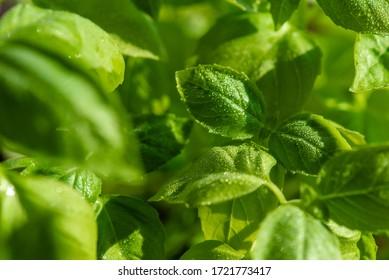 Fresh basil leaves. Healthy Eating.