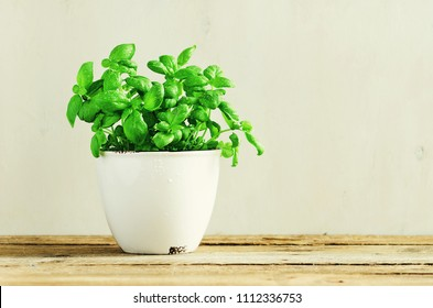 Fresh basil leaves, herb with water drops and sunlight on white background. Potted herbs. Macro. Close up. Copy space