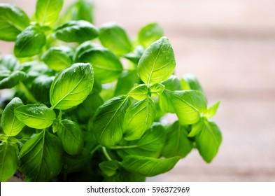 Fresh basil leaves, herb with water drops and sunlight on white background. Macro. Close up. Copy space