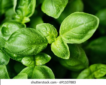 fresh basil leaves. Basil plant with green leaves. Copy space.