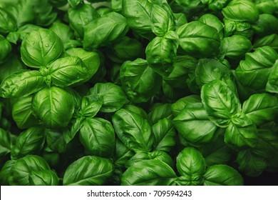 Fresh basil on a dark background. Green basil. Green basil on a dark background. Food background. A lot of basil