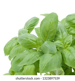 Fresh basil on white ground