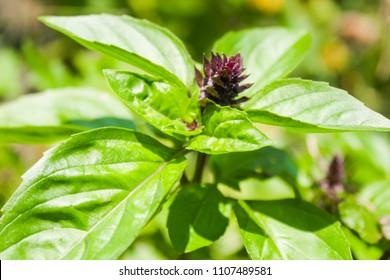 Fresh basil plant in the garden