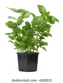 fresh basil in pot against white background, focus is set on the top leaves