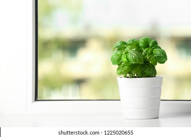 Fresh basil in pot on window sill. Space for text