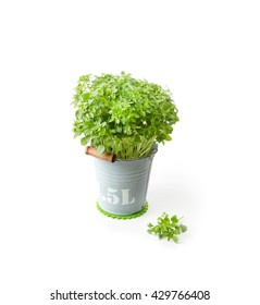 Fresh Basil in vintage metal bucket isolated on a white background