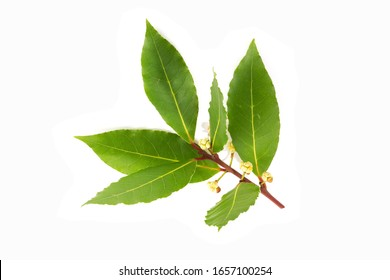 Fresh bay laurel twig with flowers ready to bloom isolated on white background. Laurus nobilis