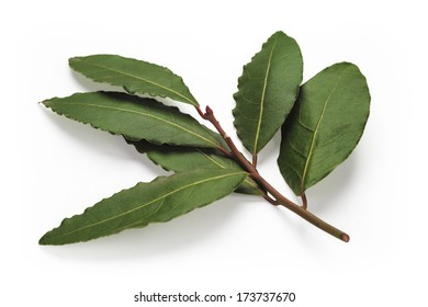Fresh Bay Leaves branch isolated on white background