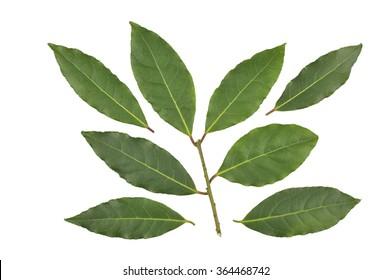 Fresh Bay Leaves or Bay Laurel leaves, Laurus Nobilis.