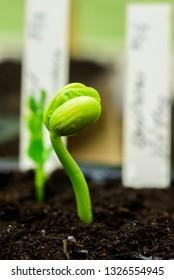 Fresh bean sprout breaking through the soil.