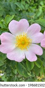 Eine frische, wunderschöne Brombeerblüte - Draufsicht.