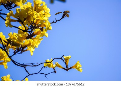 Fresh Beautiful Natural flower in bright day. Tabebuia aurea tree at Park in on blue sky background Thailand.
