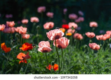 Pink poppy images stock photos vectors shutterstock fresh beautiful pink poppies on green field bright blurred background floral background shallow mightylinksfo