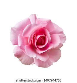 Fresh beautiful pink rose isolated on a white background