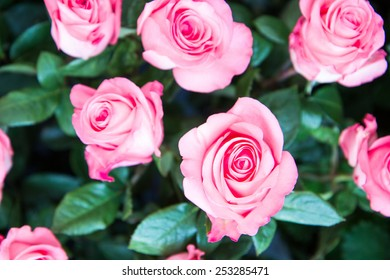Fresh beautiful pink roses in the garden