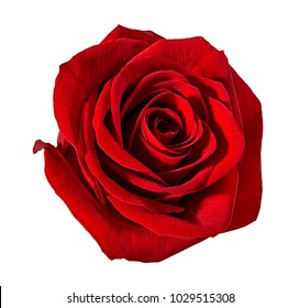 Fresh beautiful red rose isolated on white background with clipping path