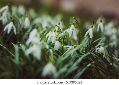 Fresh beautiful snowdrops in the grass