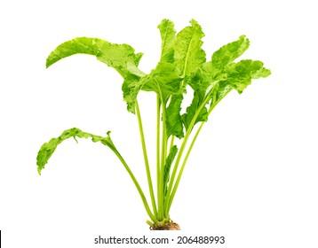 Fresh beet root leaf on white background