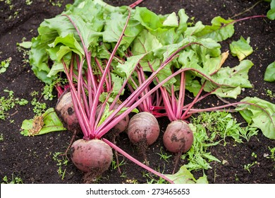 Fresh beetroot with leaves in the garden