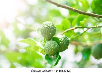 Fresh bergamot fruits on bergamot tree with sunlight bokeh background
