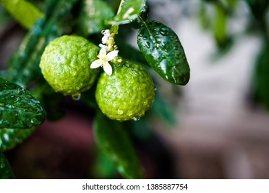 Fresh Bergamots, their flowers and leaves with rain drops on them. Bergamot is one of key ingredients in Thai chili paste. Known for kaffir lime as well.