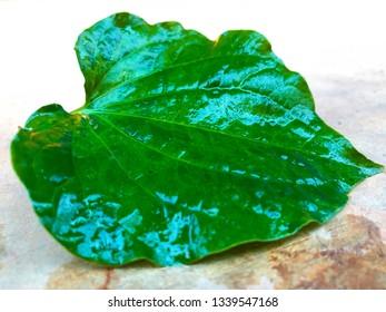 fresh Betel Leaf, Fresh betel leaf isolate on white background