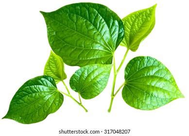 Fresh betel leaf isolate on white background