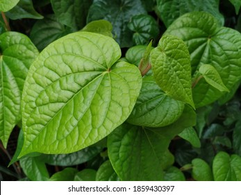 fresh Betel Leaf (Piper Betle), growing in graden,Betel leaf is mostly consumed in Asia, as betel quid or in paan, with Areca nut and/or tobacco