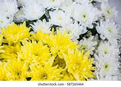 Fresh big yellow white chrysanthemum closeup background