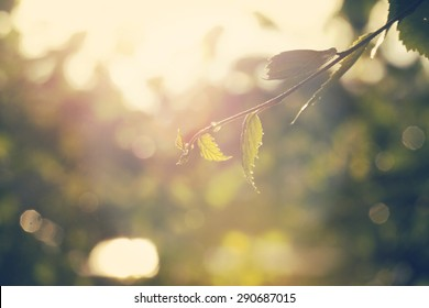 Fresh birch leaves after the heavy rain in the sunset. Image taken in Finland and image has a vintage effect.
