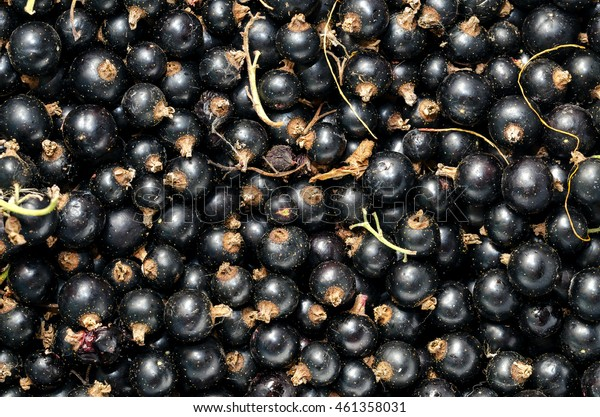 Fresh Black Currant. Background. Top View.