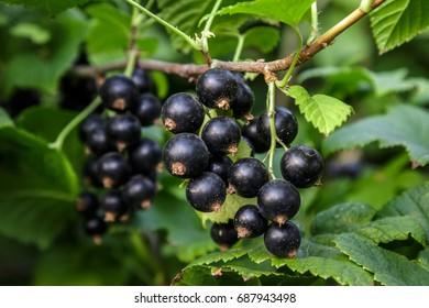 fresh black currant on the Bush