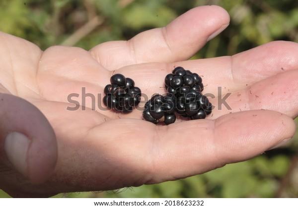 Fresh blackberries in human's fingers. Blurred greenery in the background.