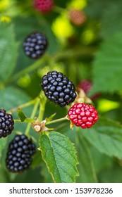 Fresh blackberries on a bush